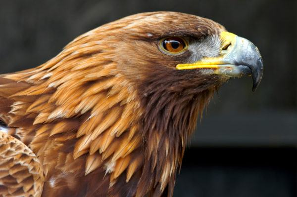 Golden Eagle Side Portrait against a black background