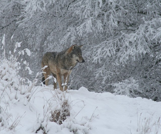 interpretación-de-los-sueños-con-lobos