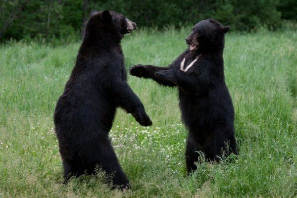 soñar-con-osos-significado-de-soñar-con-dos-osos