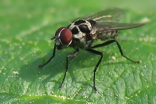 soñar-con-moscas-que-revolotean