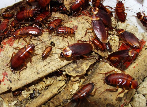 soñar-con-muchas-cucarachas