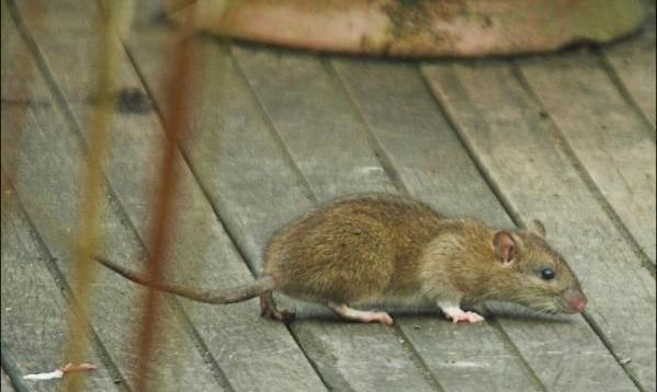 ratas-y-ratones-en-sueño-soñar-con-ratas-y-defendernos-de-ellas