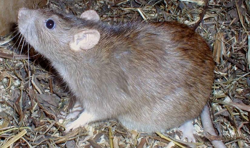 ratas-y-ratones-en-sueño-soñar-que-las-ratas-nos-persiguen
