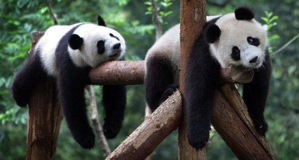 soar-con-osos-panda-muerto