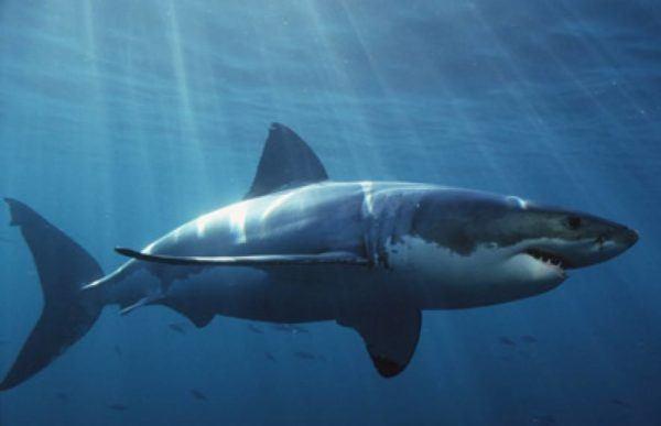 significado-de-soñar-con-un-tiburon-o-tiburones