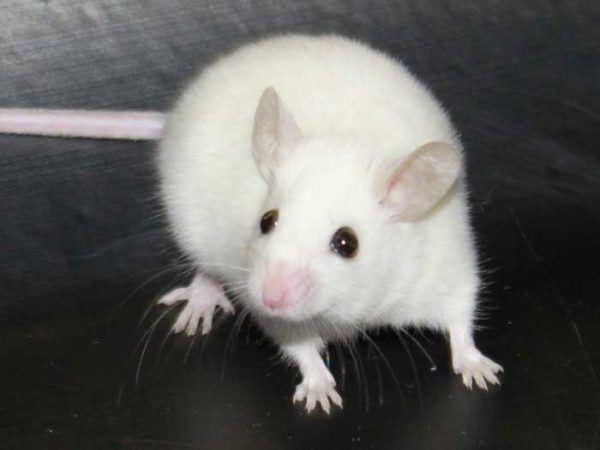 soñar-con-una-rata-blanca