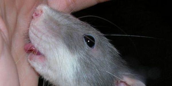 soñar-que-una-rata-nos-muerde