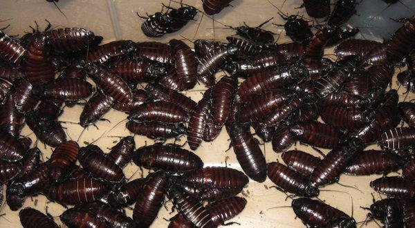 Soñar que pisamos cucarachas