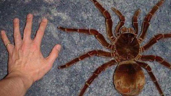 soñar-con-una-tarantula