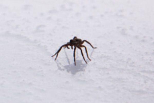 soñar-con-una-araña-pequeña