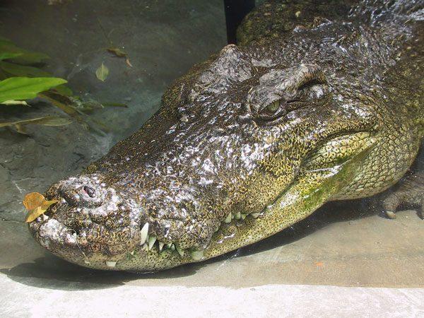 soñar-con-cocodrilos-significados-Si sueñas con un cocodrilo y estás a gusto