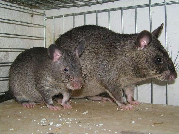 ratas-y-ratones-en-suenos-grandes