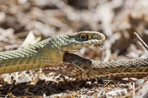 sonar-con-serpientes-peleadas