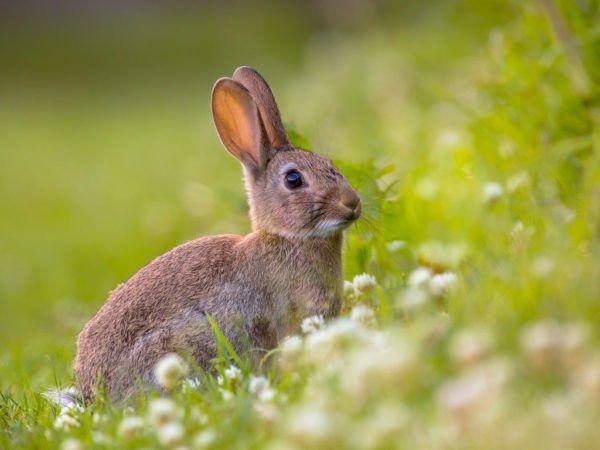 Origen del amuleto de la pata de conejo entrada de conejos en europa