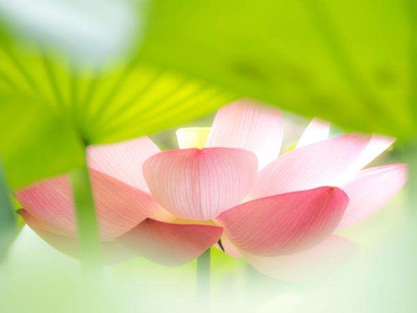 Buena suerte amuletos y talismanes flor de loto