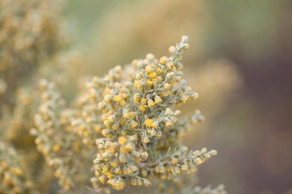 Plantas para hacer hechizos artemisa