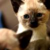 Los sagrados Gatos Siameses.