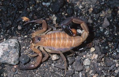 soñar-que-un-escorpion-nos-pica
