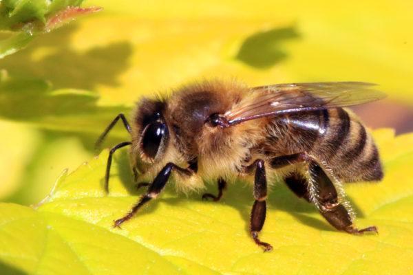 soñar-con-abejas-significado