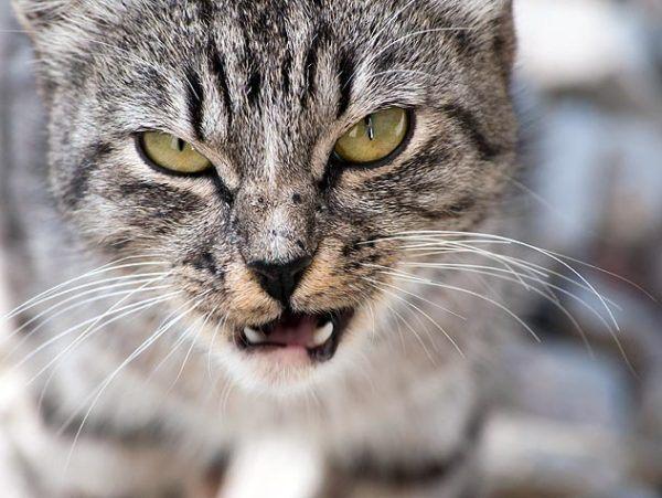Si el gato se muestra agresivo