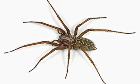 House-Spider-001_thumb