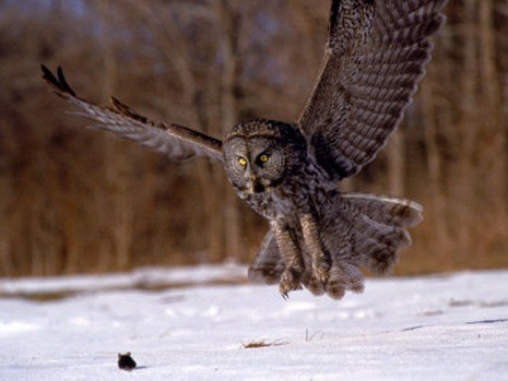 wilion-harold-great-gray-owl-flying-rowley-ma