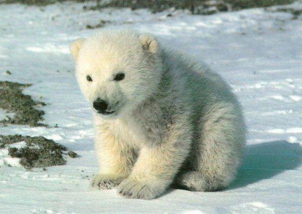 soñar-con-osos-polares
