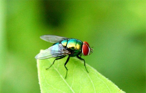 significado-soñar-con-moscas