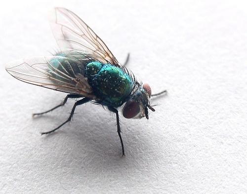 soñar-con-moscas-siendo-mujer