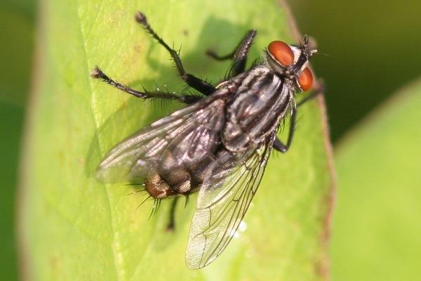soñar-moscas