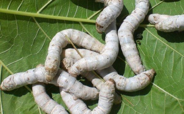 soñas-con-gusanos-blancos