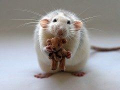 Ratas y ratones en sueños
