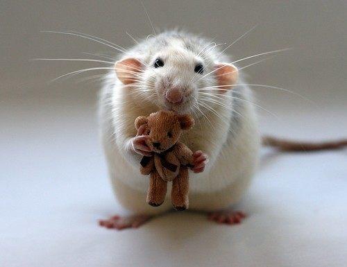 ratas-y-ratones-en-los-sueños