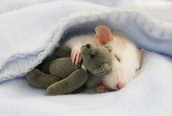 ratas-y-ratones-en-sueño-soñar-con-ratas-y-sentir-panico