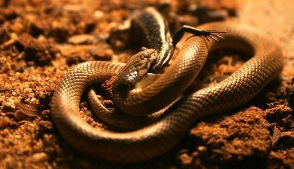 significado-de-soñar-con-las-serpientes