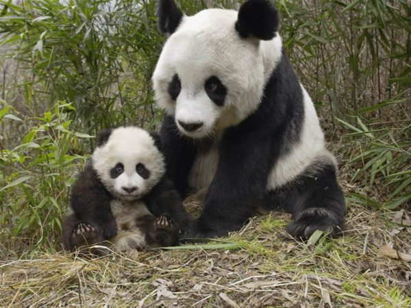 soñar-con-un-oso-panda
