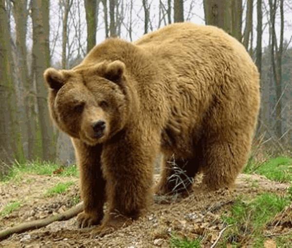 soar-con-osos-pardos