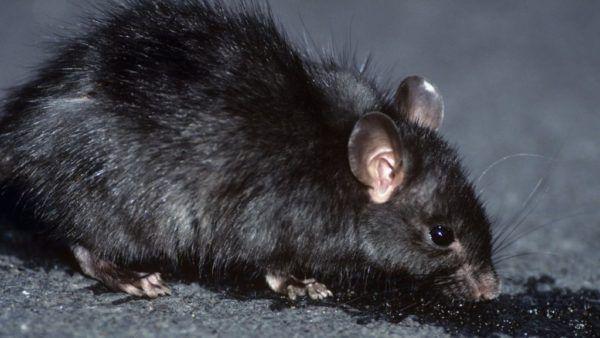 soñar-con-una-rata-negra