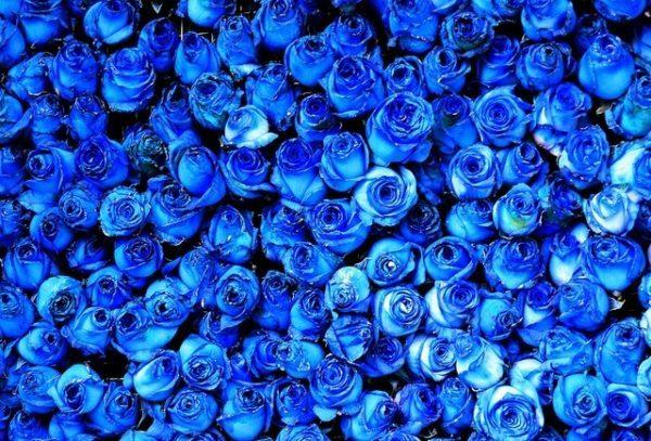 que-significan-las-rosas-azules