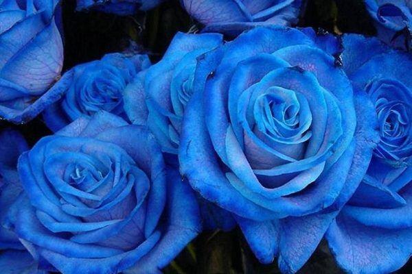 rosas-azules-significado
