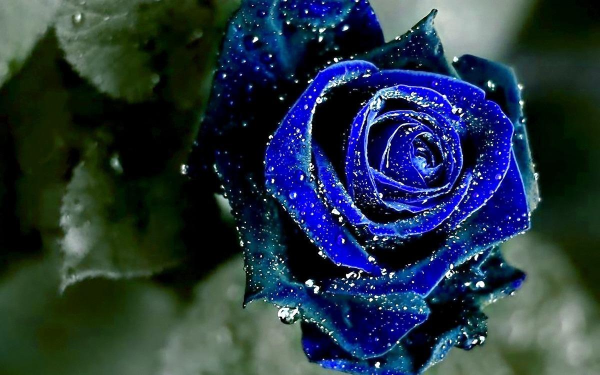 Significado de las rosas azules - Esoterismos.com