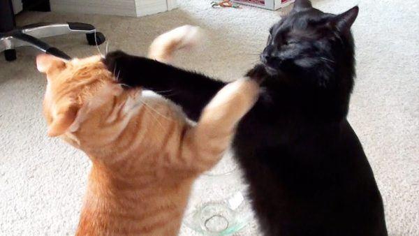 soñar-con-peleas-de-gatos