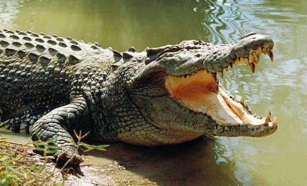 soñar-con-cocodrilos-significados