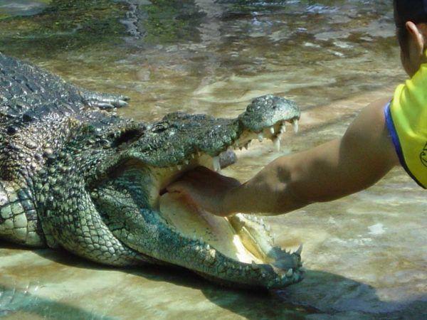 soñar-con-cocodrilos-significados-Soñar con un cocodrilo del que escapamos