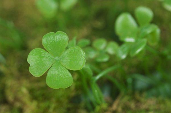 trebol-4-hojas-suerte-planta