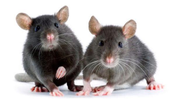 soñar-ratones-significado