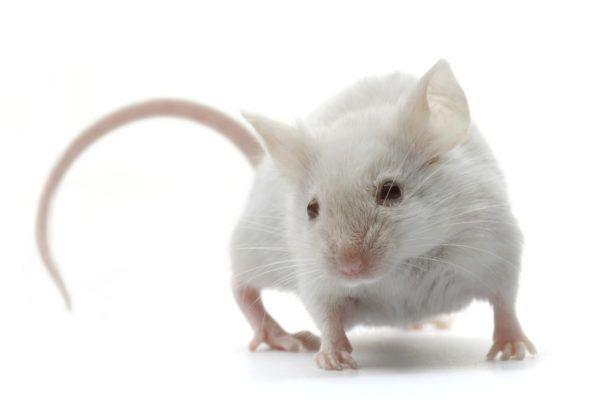 soñar-ratones-significado-que-es