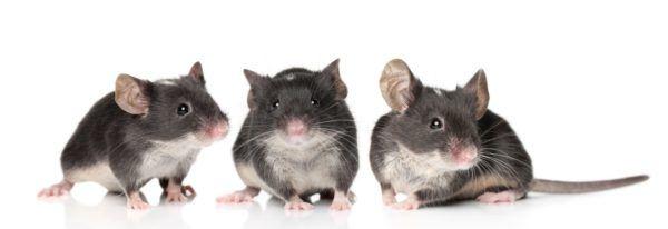 soñar-ratones-soñar-con-varios-ratones