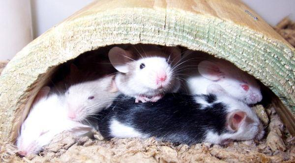 soñar-ratones-soñar-que-nos-dan-miedo