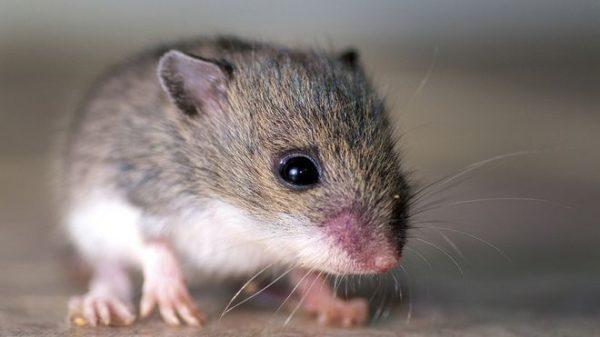 soñar-ratones-soñar-que-somos-un-raton